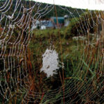 a full spiderweb with morning dew glistening on the strands. In the background is the farmstead of Hawthorne Valley Farm.