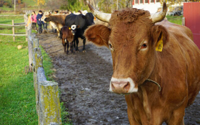 Hawthorne Valley Farm to Host Social Impact Experience: Help Bring the Herd in from Pasture!