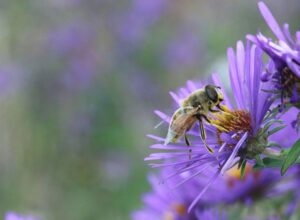 Hover Fly on a light purple New England Aster