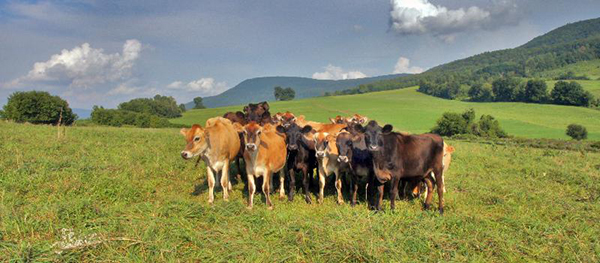 Breese Hollow Dairy's herd at pasture