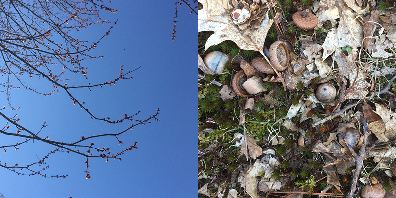 tree buds against blue sky and dead leaves and acorns on forest floor