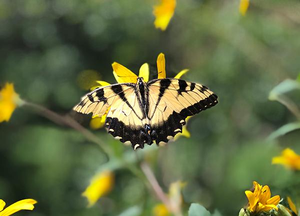 native butterfly