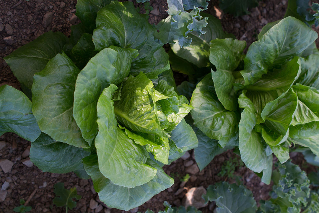 young lettuces growing outdoors
